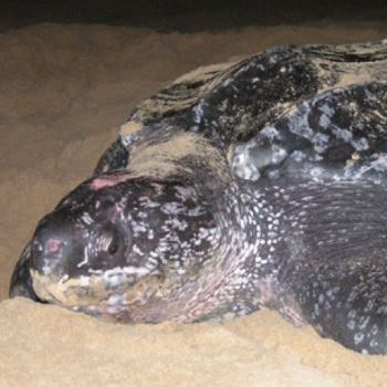 SA's sea turtles might be refugees